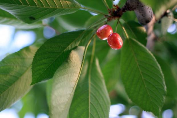 サクランボ(桜桃)無料写真素材014