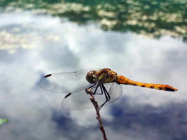 トンボ(蜻蛉)無料写真素材001