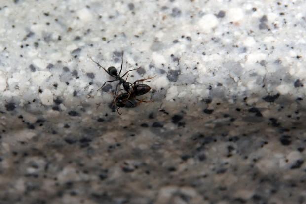 アリ(蟻、螘)フリー写真素材002