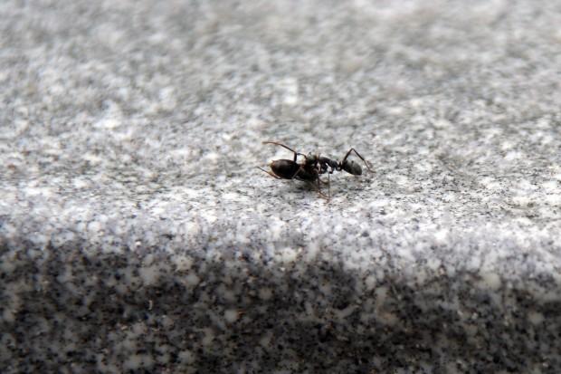 アリ(蟻、螘)フリー写真素材004