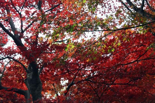 紅葉(もみじ)無料写真素材071