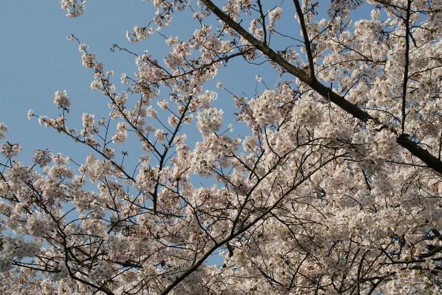 桜(サクラ)無料写真素材007