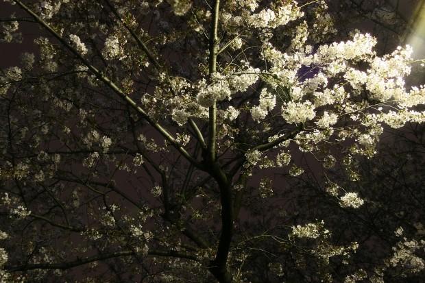 夜桜、フリー写真素材001