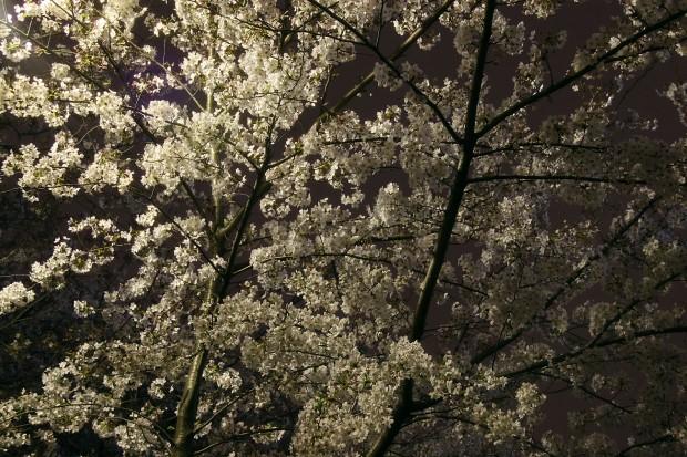 夜桜、フリー写真素材003