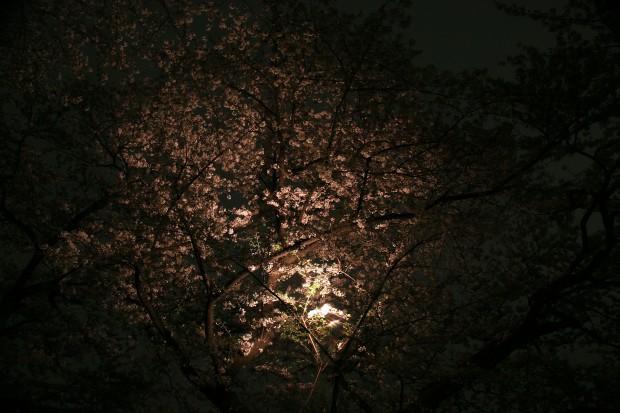 夜桜、フリー写真素材008