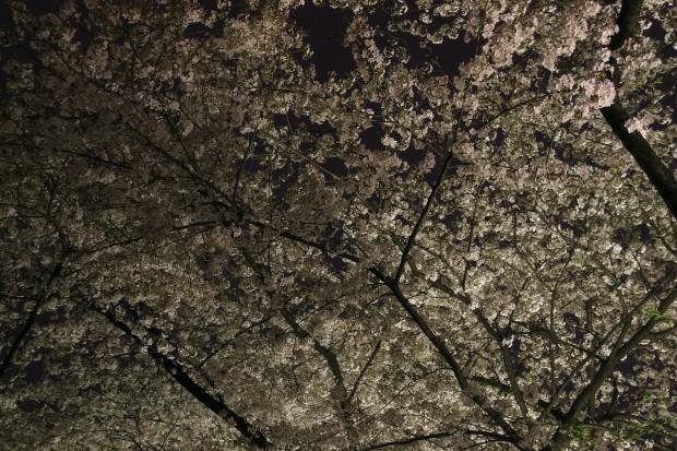 夜桜、フリー写真素材014