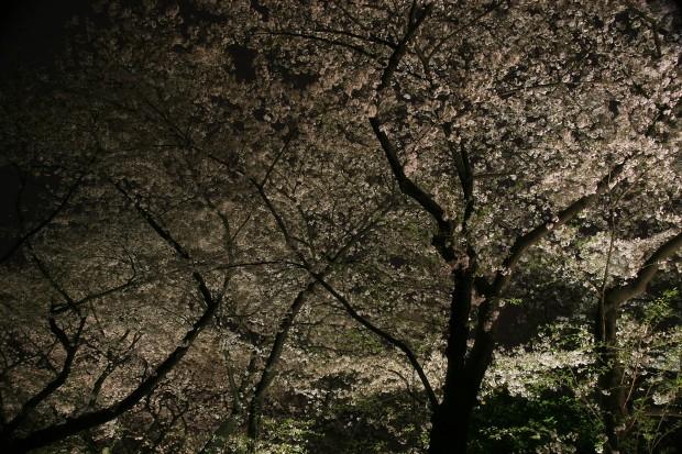 夜桜、フリー写真素材015