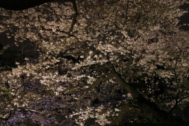 夜桜、フリー写真素材030