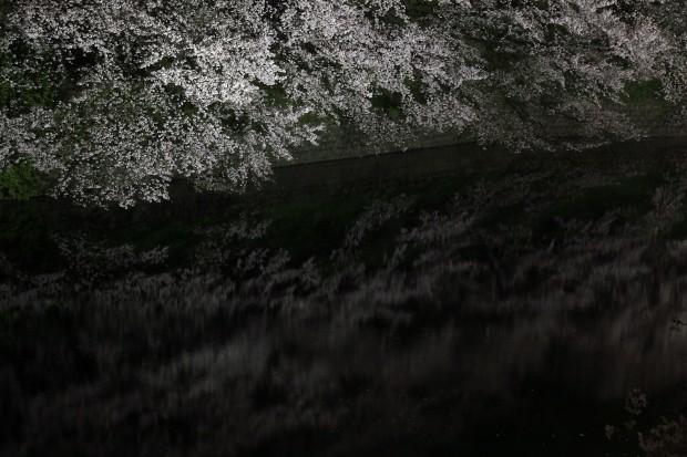 夜桜、フリー写真素材044