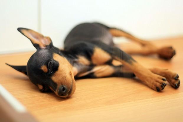 子犬無料写真素材001