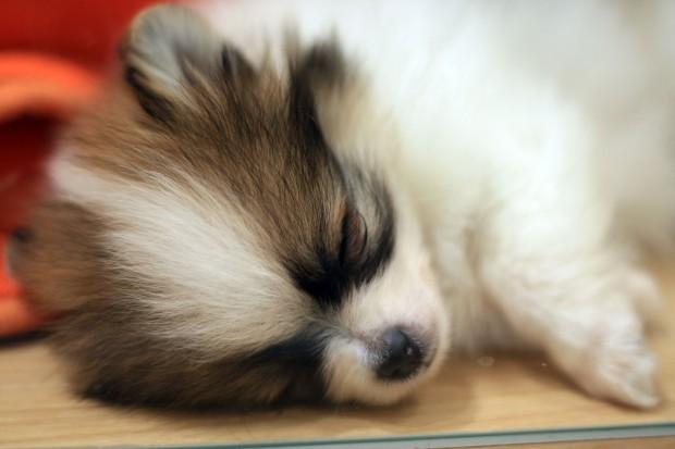 子犬(ポメラニアン)無料写真素材006