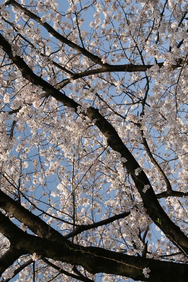 桜(サクラ)無料写真素材011