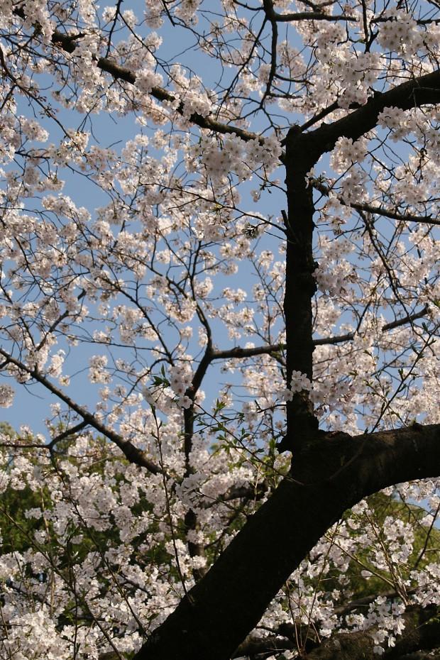 桜(サクラ)無料写真素材013