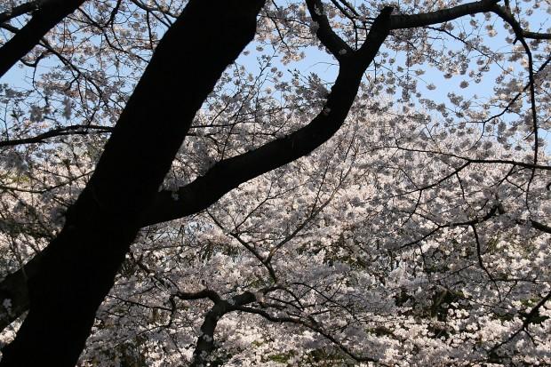 桜(サクラ)無料写真素材016
