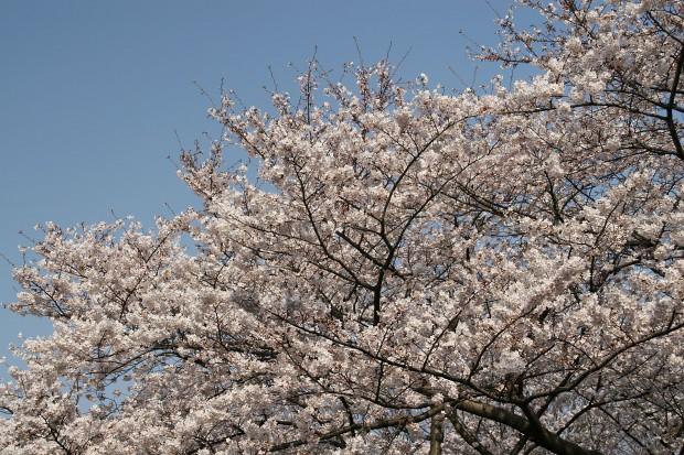 桜(サクラ)無料写真素材019