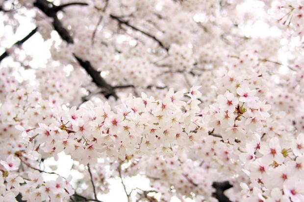 桜(サクラ)フリー写真素材023
