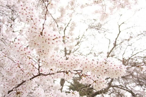 桜(サクラ)フリー写真素材026