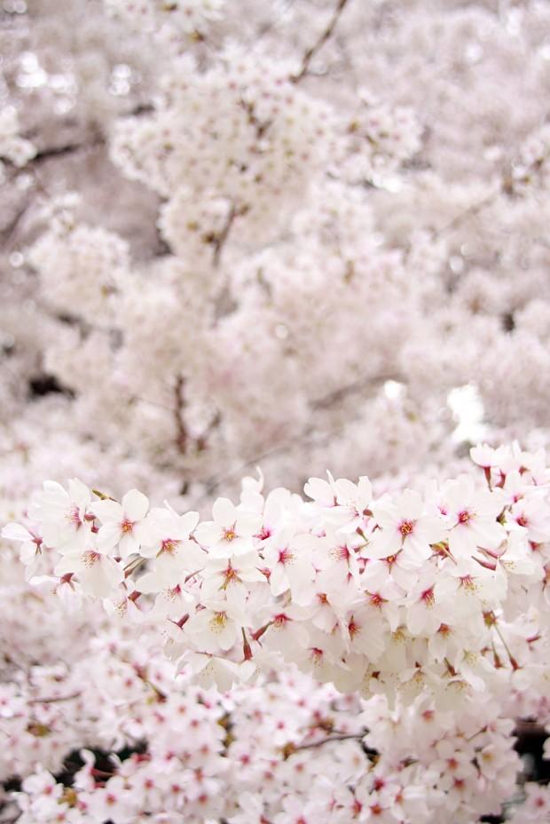 桜(サクラ)フリー写真素材028