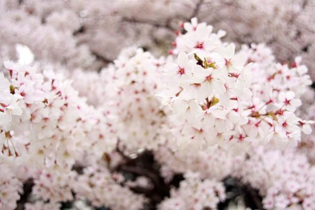 桜(サクラ)フリー写真素材030