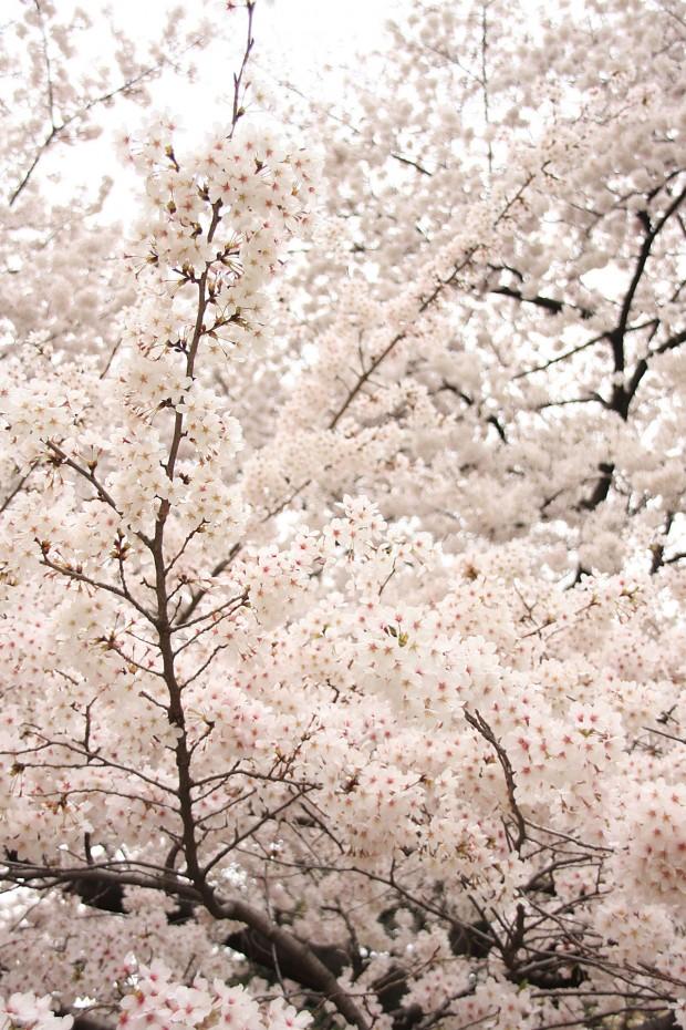 桜(サクラ)フリー写真素材039