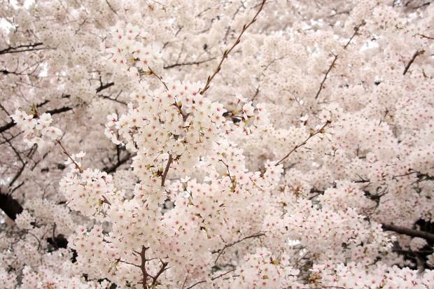 桜(サクラ)フリー写真素材040