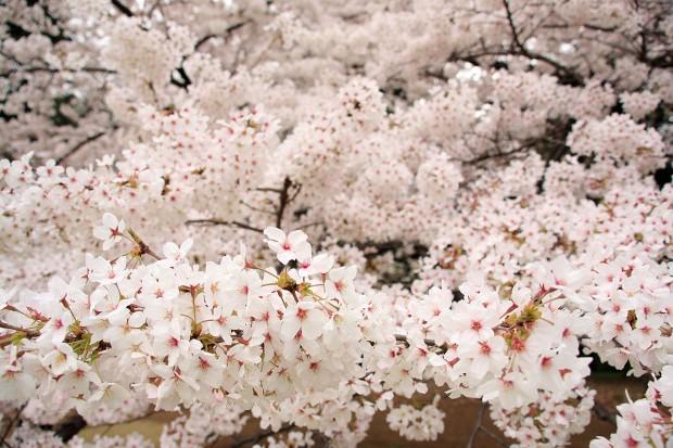 桜(サクラ)フリー写真素材041