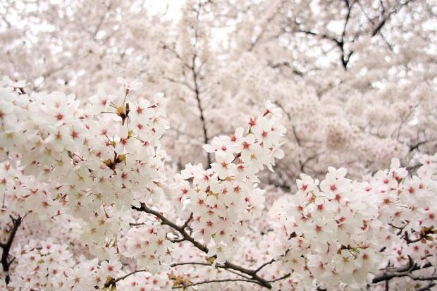 桜(サクラ)フリー写真素材043
