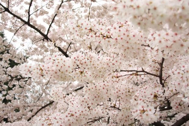 桜(サクラ)フリー写真素材045