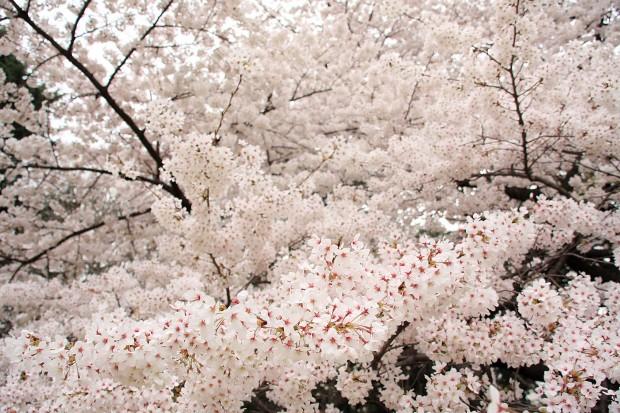 桜(サクラ)フリー写真素材048
