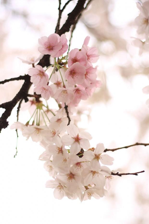 桜(サクラ)フリー写真素材057