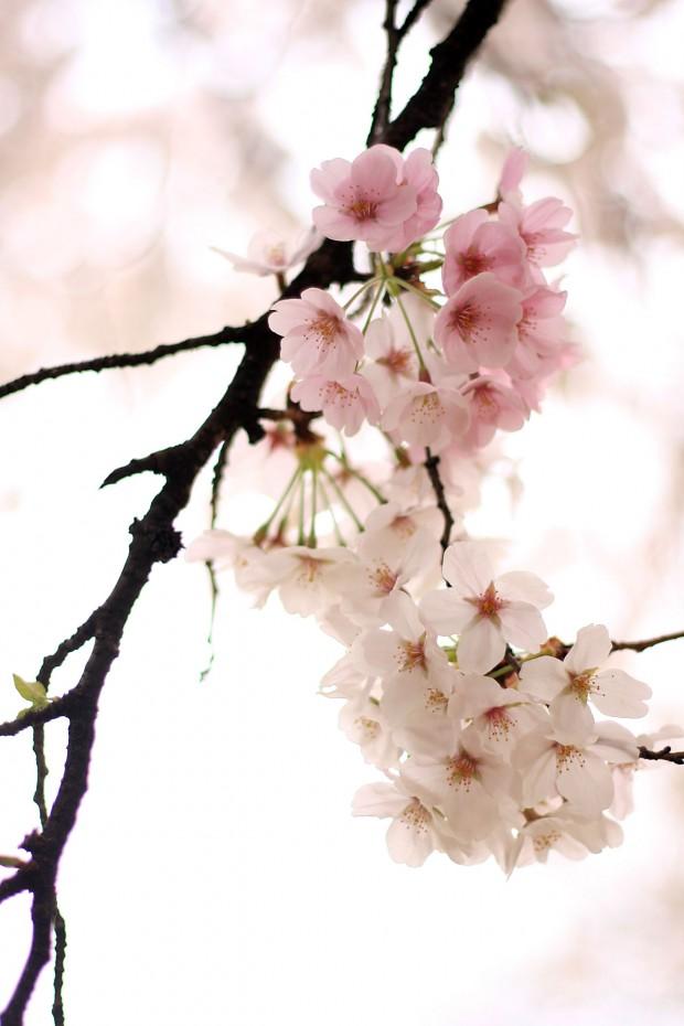 桜(サクラ)フリー写真素材058
