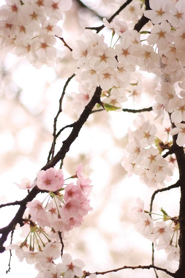 桜(サクラ)フリー写真素材059