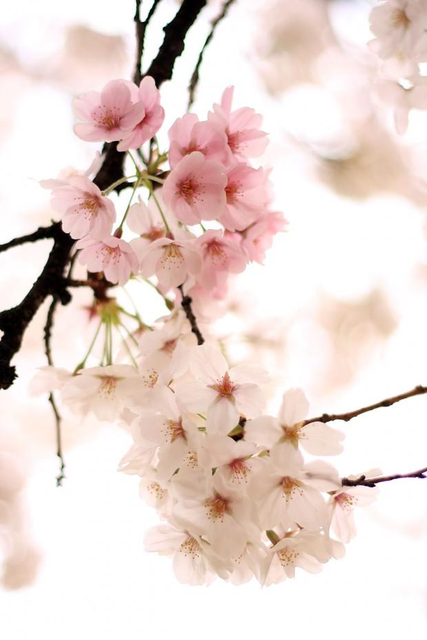 桜(サクラ)フリー写真素材062