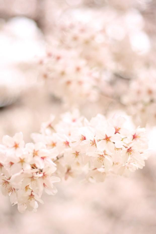 桜(サクラ)フリー写真素材065