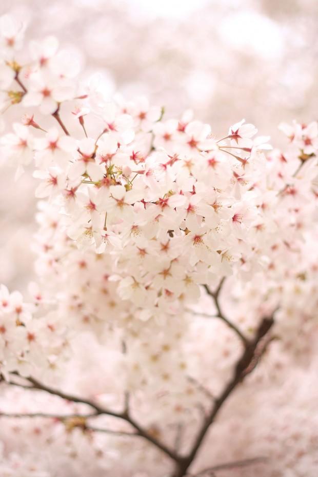 桜(サクラ)フリー写真素材071