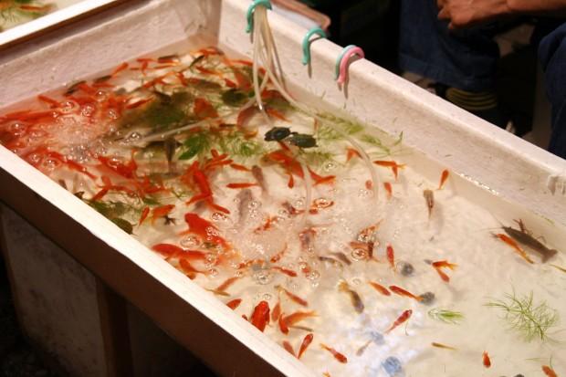 祭り(金魚)フリー写真素材090