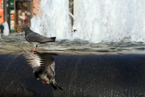 鳩フリー写真素材10