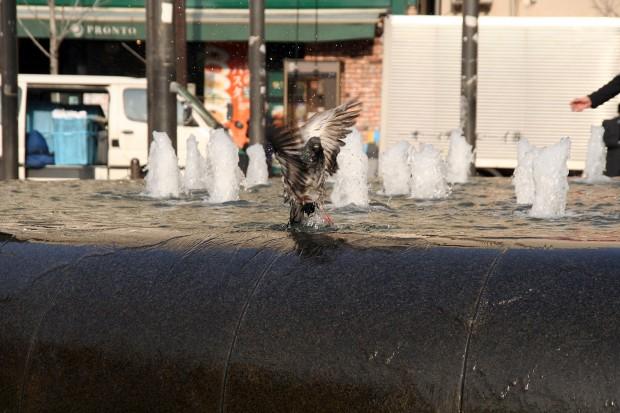 鳩フリー写真素材12