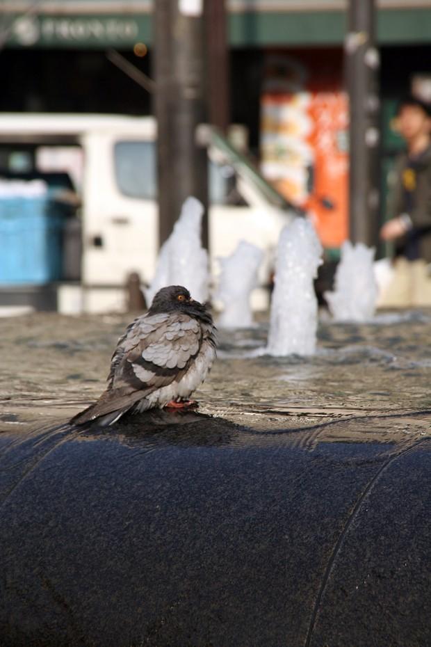 鳩フリー写真素材15