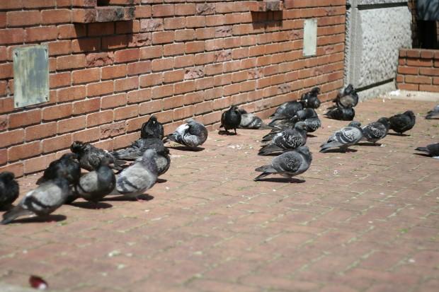 鳩フリー写真素材34