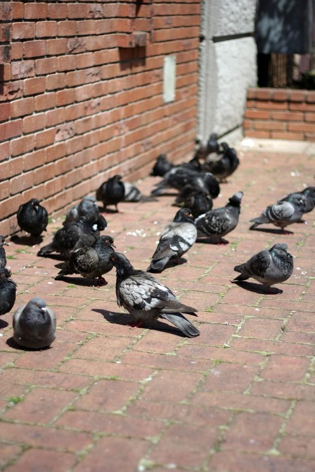 鳩フリー写真素材39
