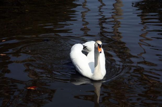 白鳥フリー写真素材038