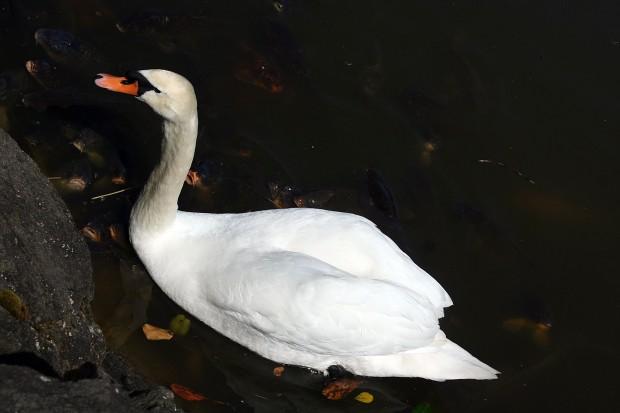 白鳥フリー写真素材007