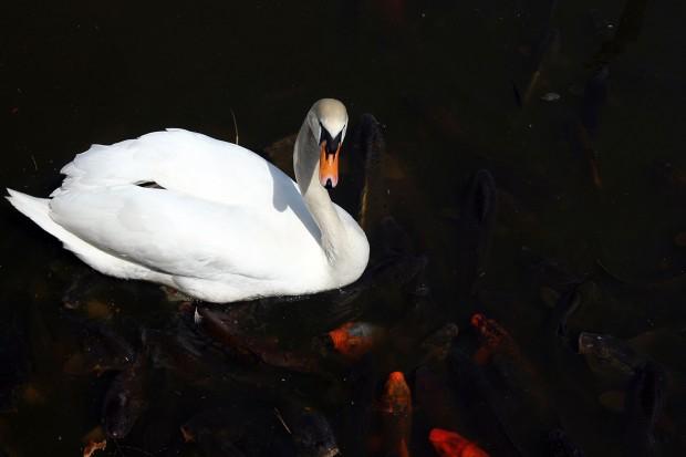 白鳥フリー写真素材013