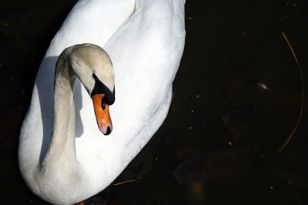 白鳥フリー写真素材018