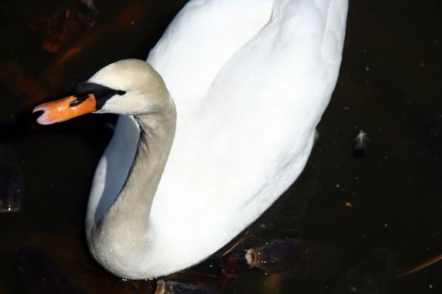 白鳥フリー写真素材019