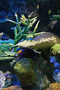 珊瑚(サンゴ)サムネイル