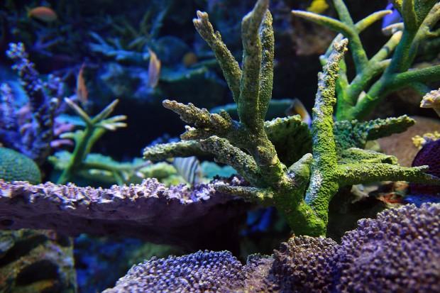 珊瑚(サンゴ)003