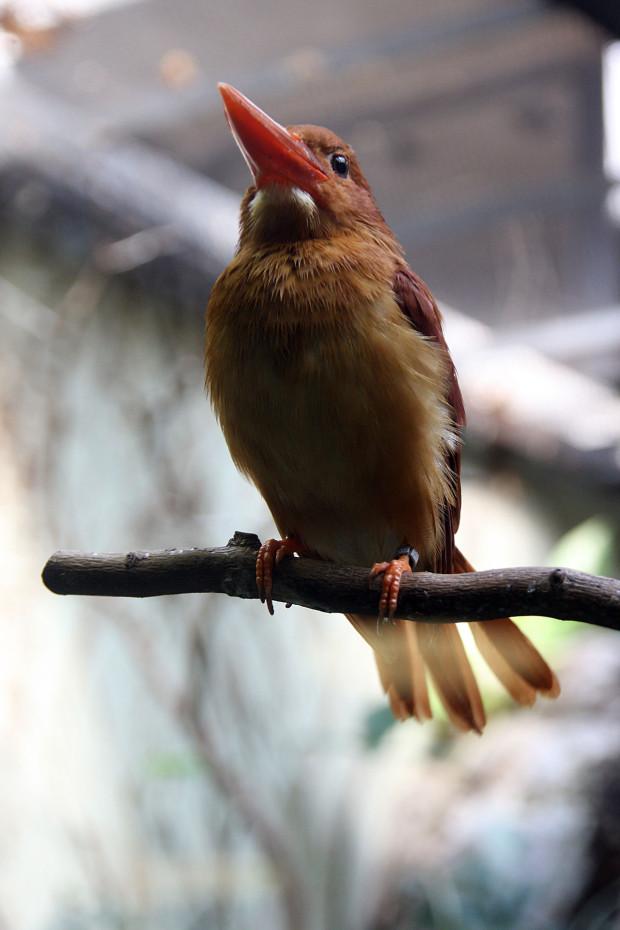 アカショウビン(鳥)002