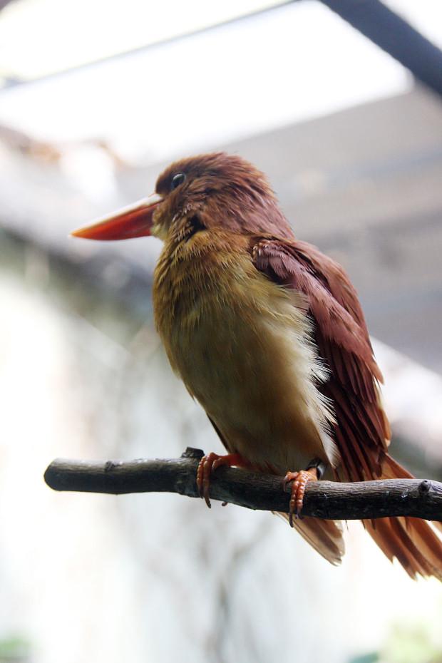 アカショウビン(鳥)003